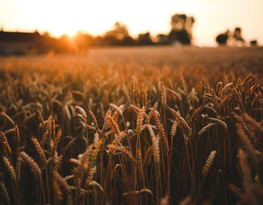 Buğday Ruşeymi ve Faydaları